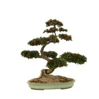 Bonsai Tree